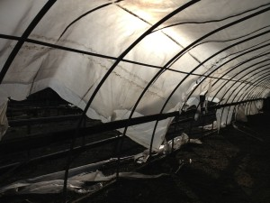 windstorm ruined greenhouse plastic